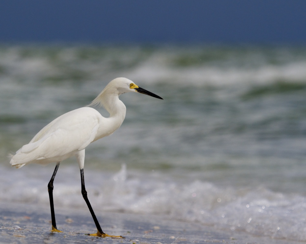 Snowy Egret watches the surf for supper!