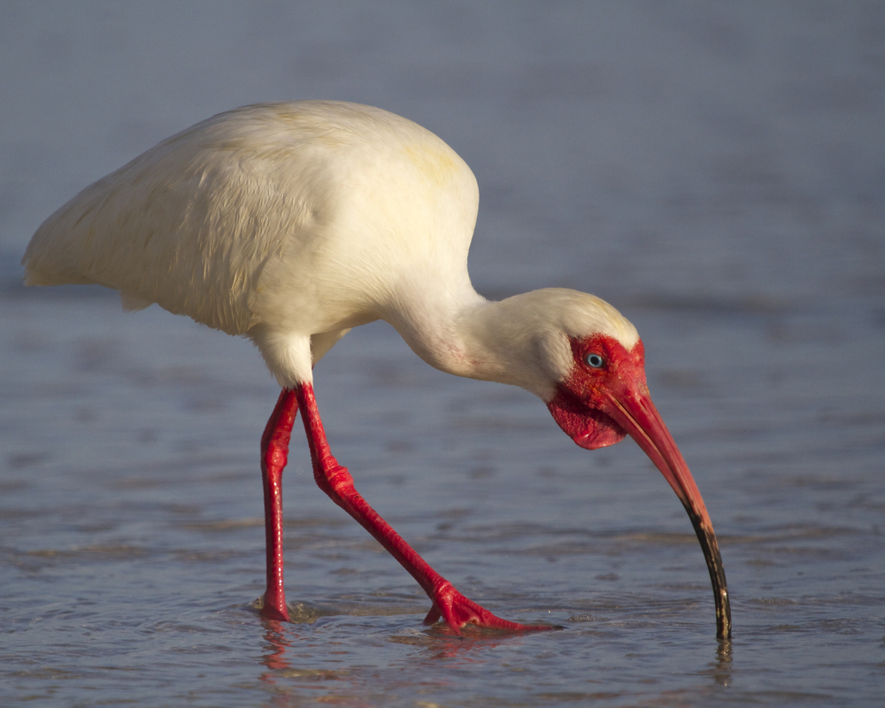 White Ibis in breeding red flames