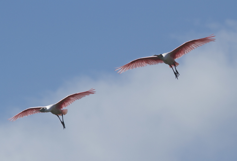 A voice in the darkness, a knock at the door,   And a word that shall echo on the Broward for evermore!      The Pink Coats, those Roseate Spoonbills are once again here on our shore!