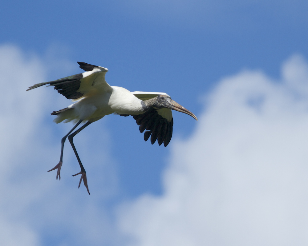 Adult Woodstork glides in for a landing.