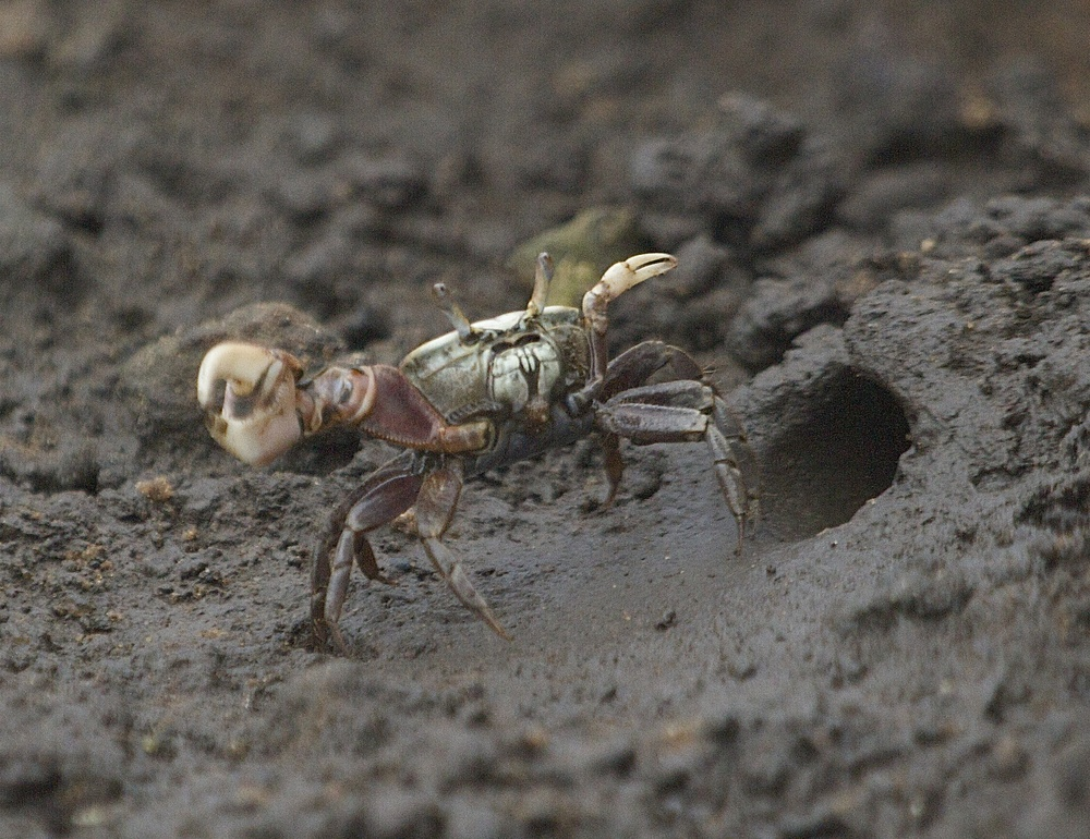Hundreds of fiddler crab dens are exposed at low tide but you have to be stealthy to catch them. They are quick.