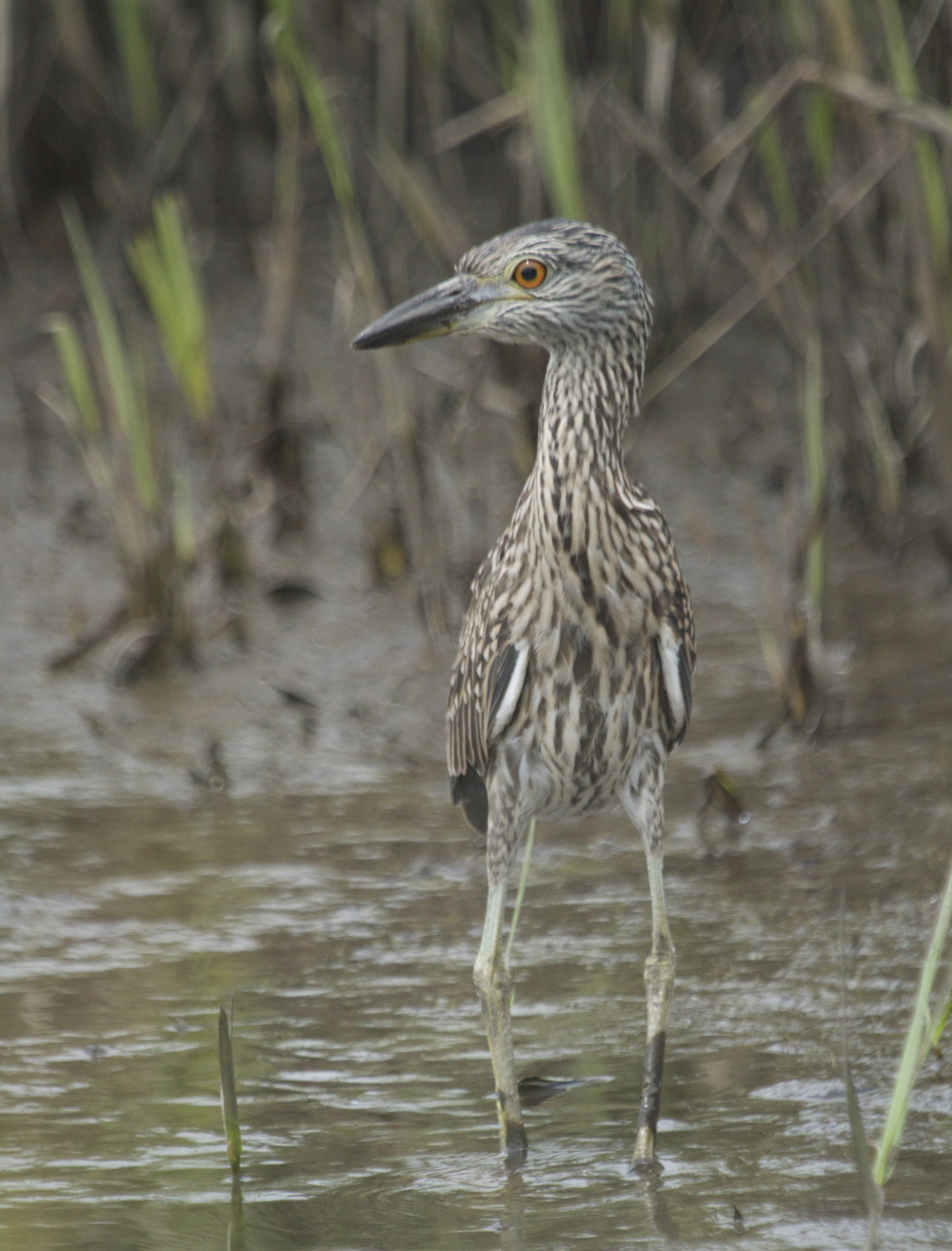 George Junior, the juvenile Yellow Crowned Night Heron spots his prey.