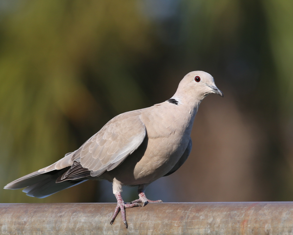 Why was I not rather born a gentle Morning Dove to fly on wings at large, the pride and glory of the skies and feast on the neighbors bountiful bird feeders?""