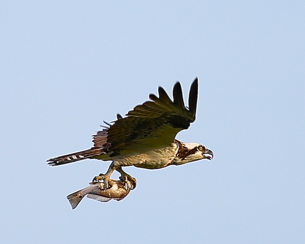 Good things come to those who wait..see what the Osprey caught!  Nice Catch.