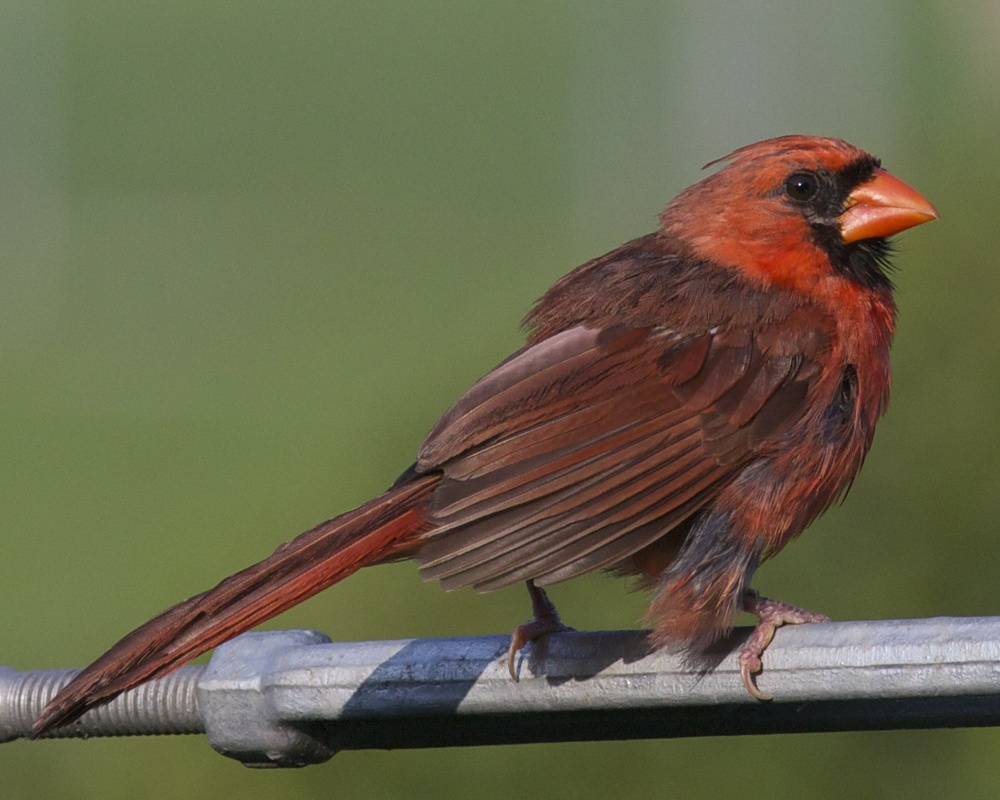 Photo number one. Young male Northern Cardinal in summer plumage taken before UBICA (and mating season).