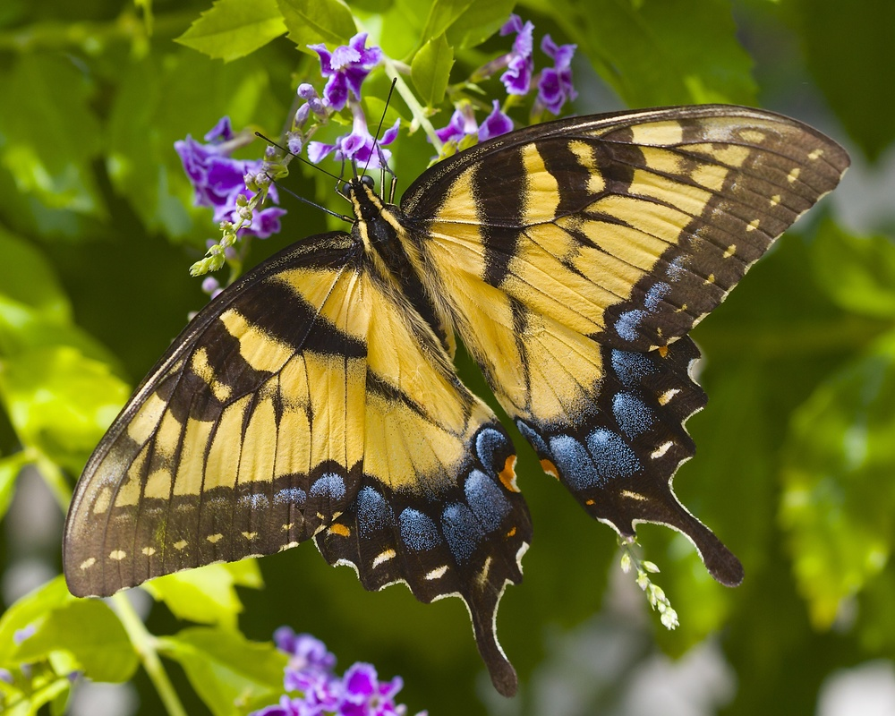 Eastern Tiger Swallowtail (female)