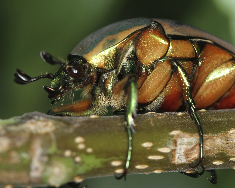Flying Green June Beetle