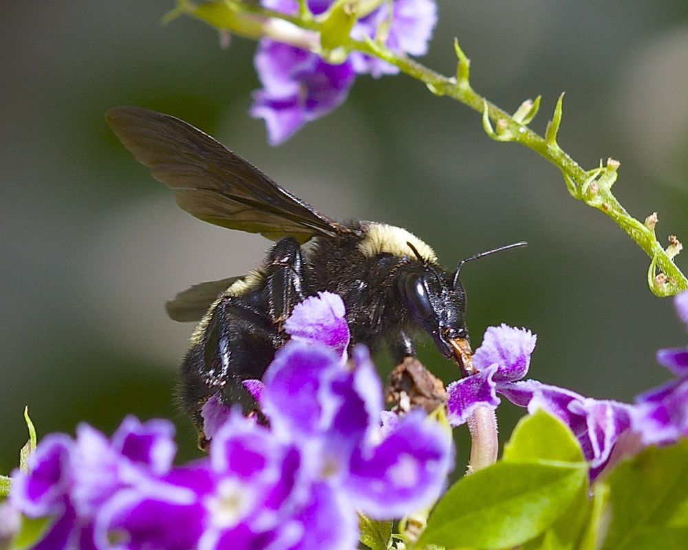 Bumble Bee…Bzzzz Bzzzz Bzzz..