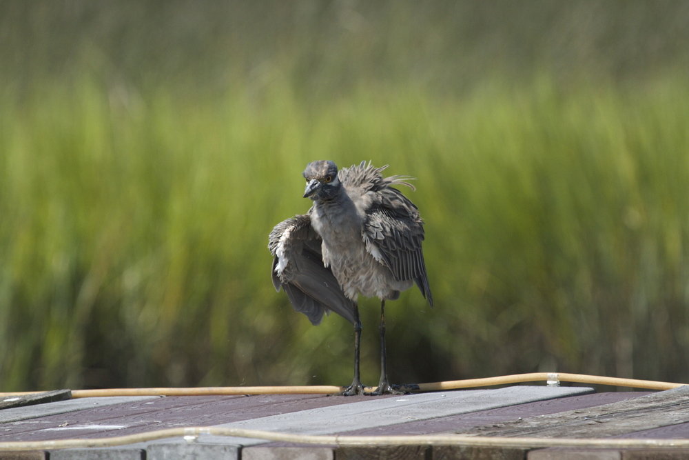 So is George, the Yellow Crowned Night Heron!