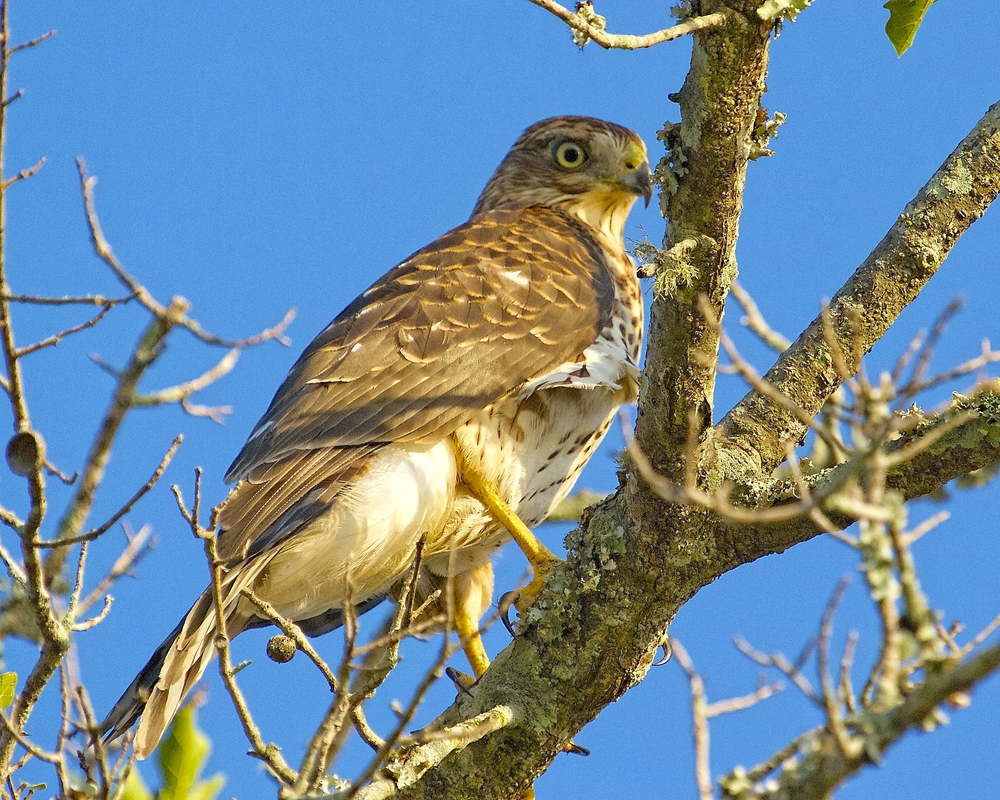 Danger seems lurking everywhere now! (Juvenile Red Shouldered Hawk)