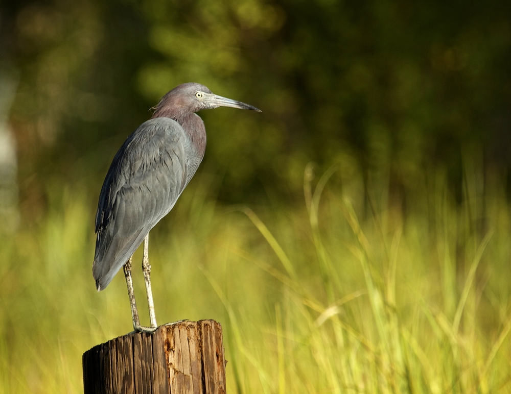 The Little Blue Heron enjoys the fresh breeze in the air..the marsh grass is just beginning to turn a hint of golden