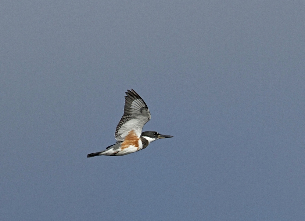 My next challenge is to catch Spunky the Belted Kingfisher up close…Welcome to September on this Labor Day..