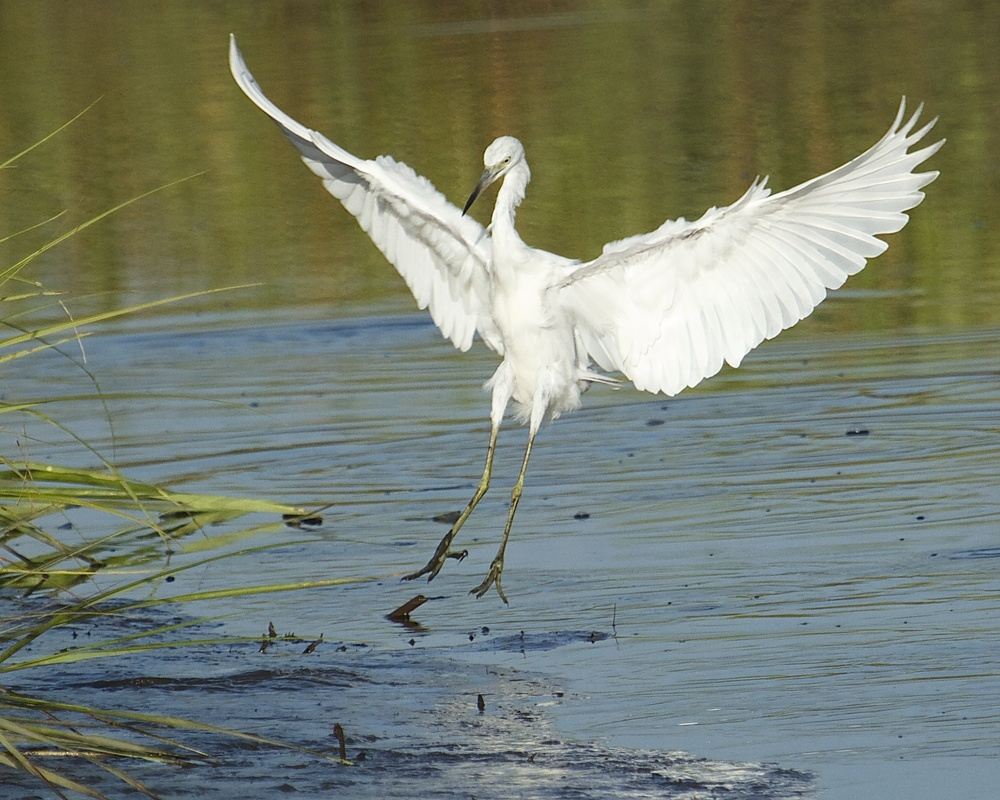 A juvenile (all white) Little Blue Heron touches down in the marsh channel. It is belly time for me.