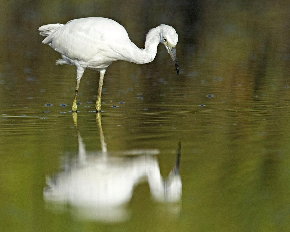 The Little Blue Heron begins to stalk the shallows moving in my direction..it gazes into the water...