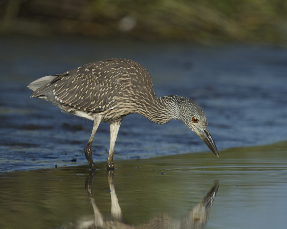 A juvenile Yellow Crowned Night Heron lands beside me and begins to hunt also..