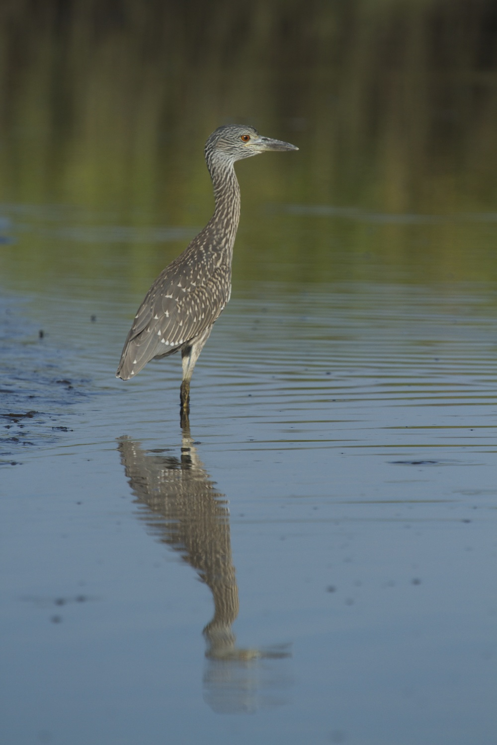 The Yellow Crowned Night Heron pauses (and reflects)..