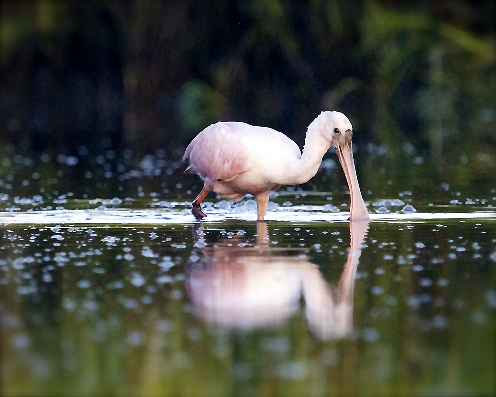 Early in the morning I spot a Roseate Spoonbill feeding in my direction…I get low and ready..here it comes..