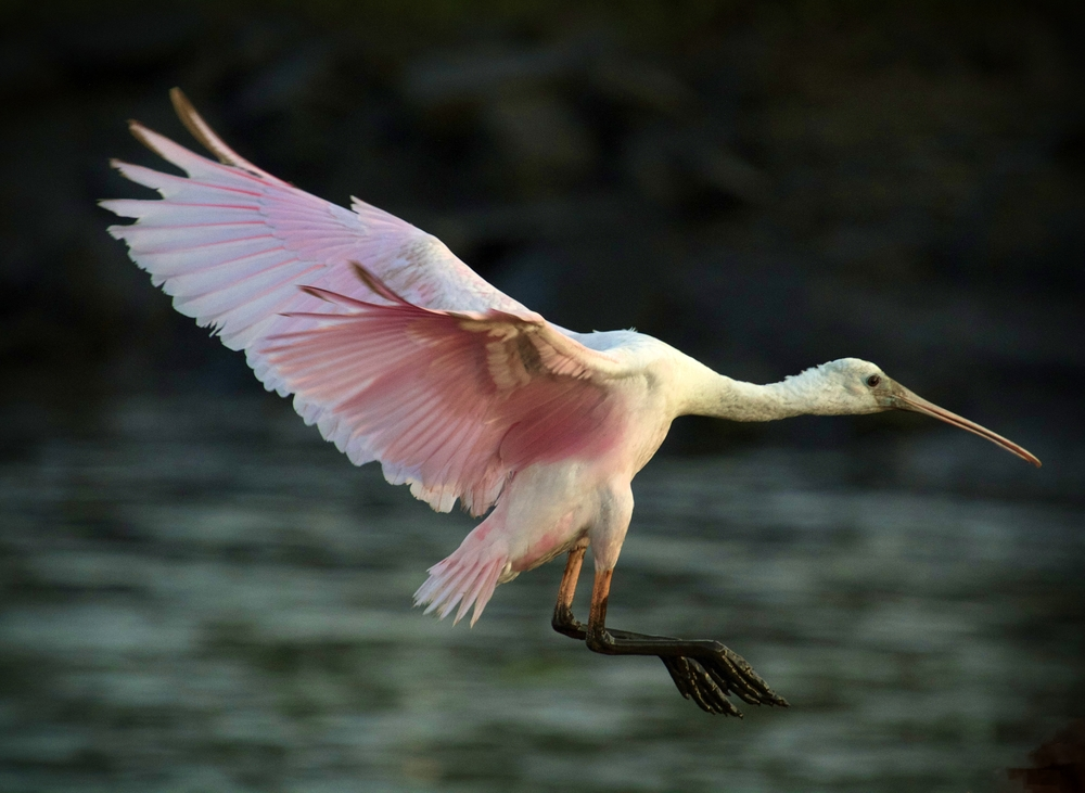 The spoonbill makes its approach to the dock..
