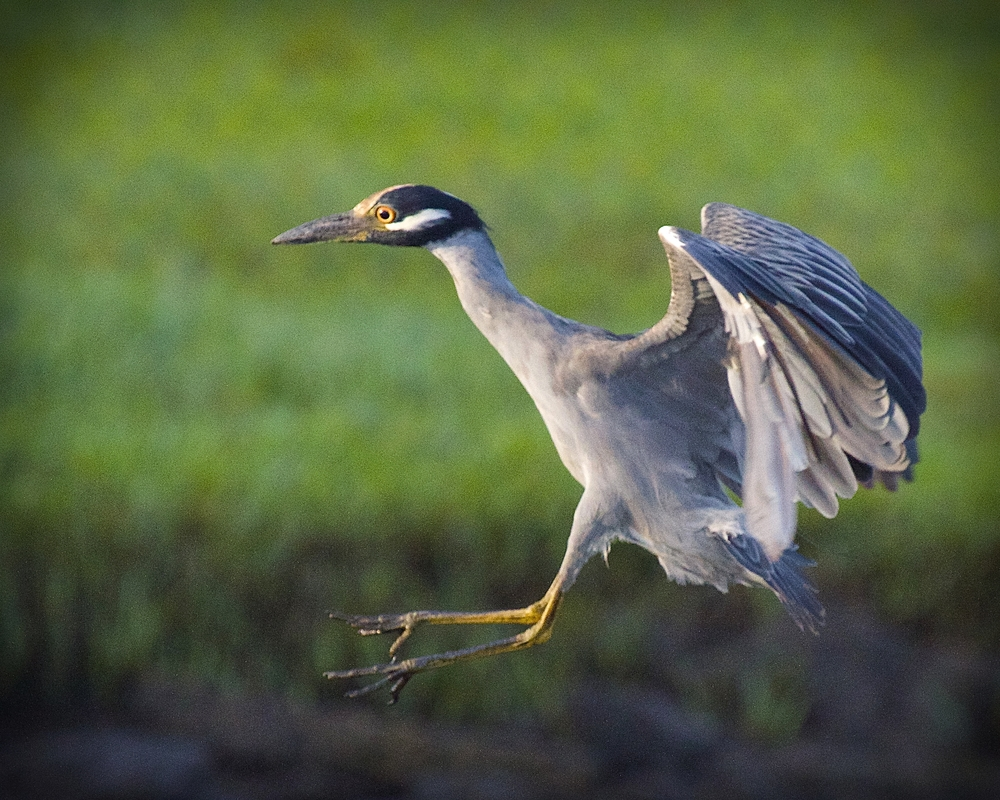 "So does George, the Yellow Crowned Night Heron…AHHHG Runway is ""Fowled""…abort landing"