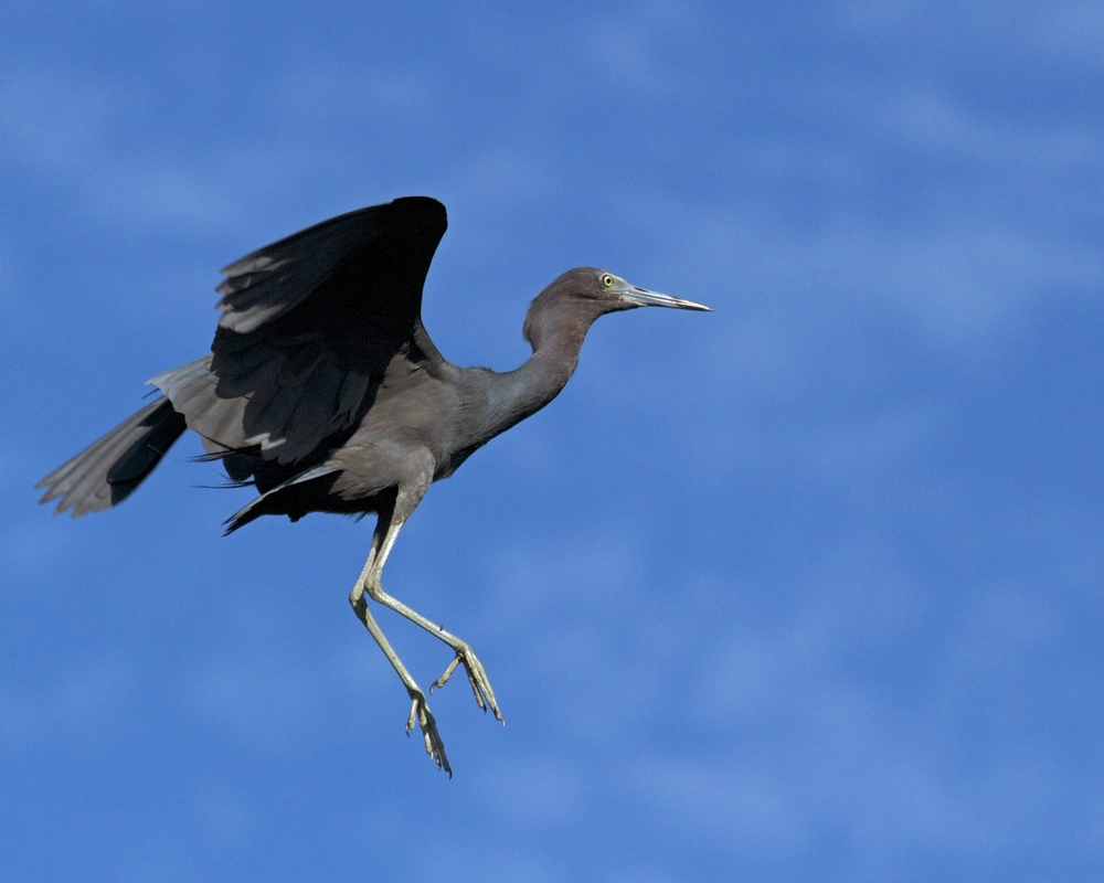 Little Blue Heron Blue Scoot Boogie