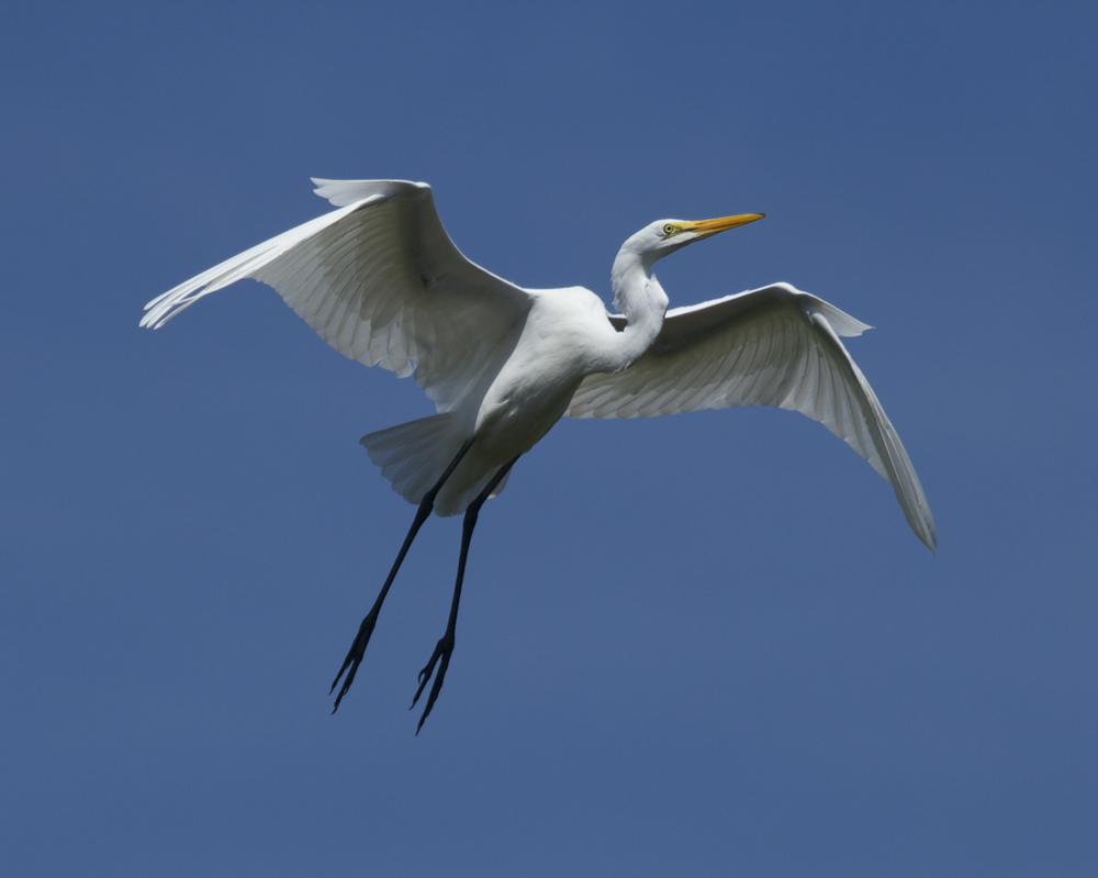 Graceful Wings on a Great Egret glide