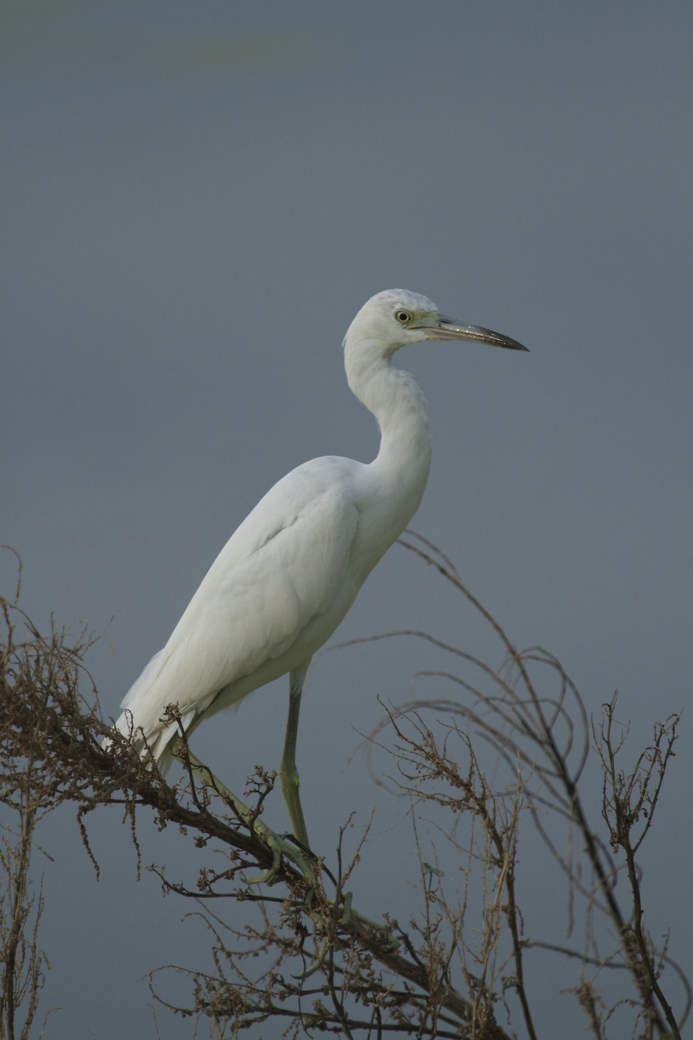 Juvenile Little Blue Heron, white plumes and a grey sky