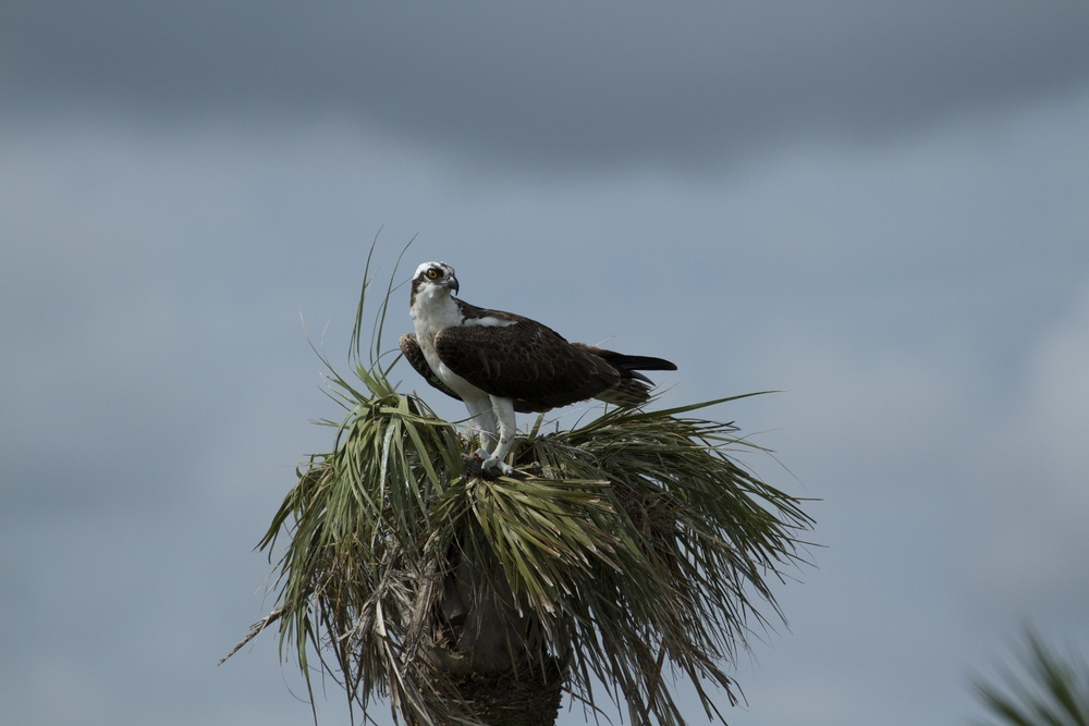 I inadvertently interrupt an Osprey having breakfast.