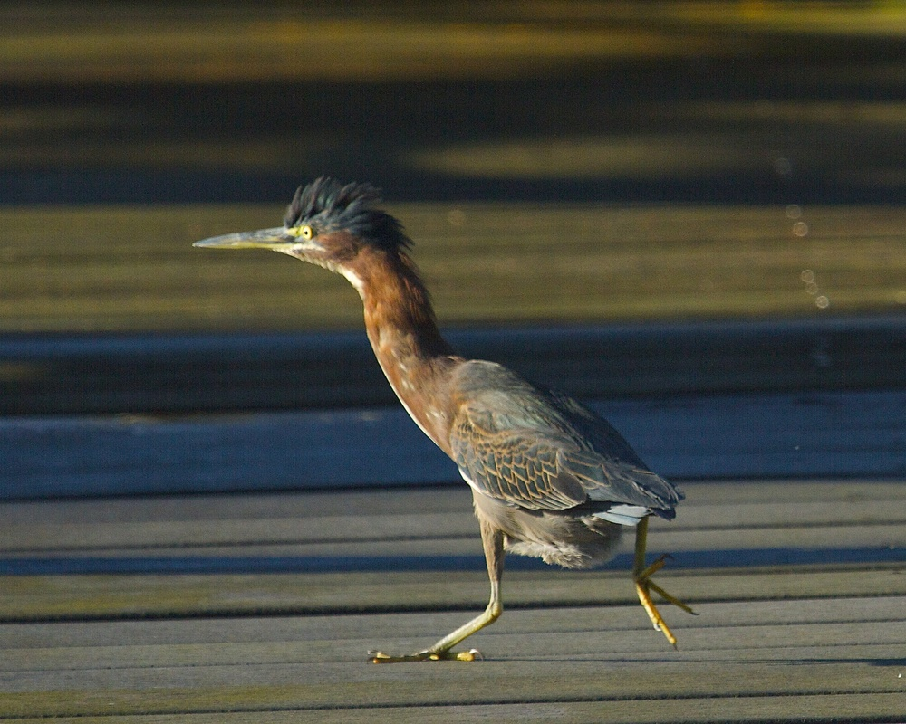 Guess who I surprise on the dock the next morning….a Little Green Heron!