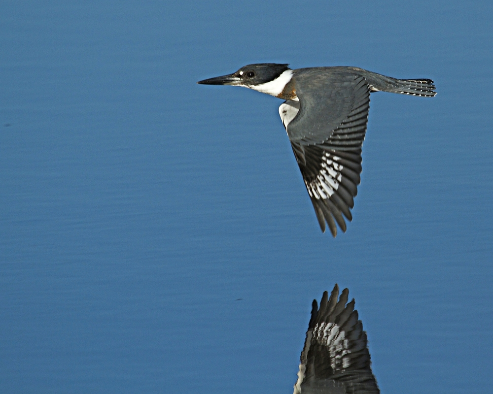 Spunky the female Belted Kingfisher flies by giving me the eye..