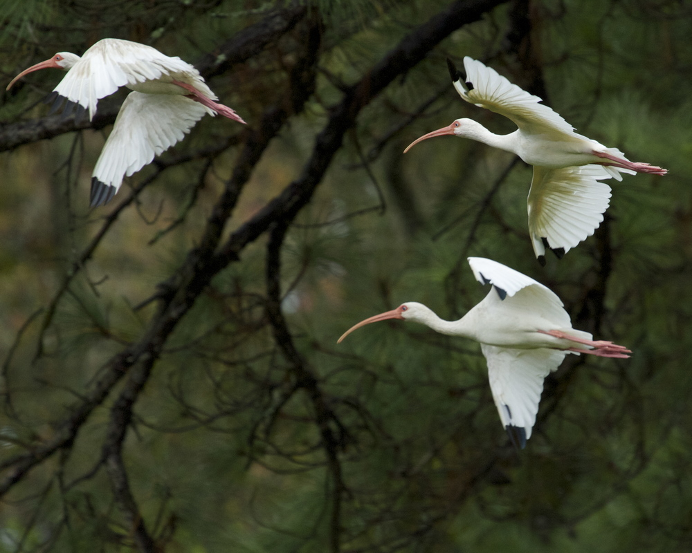 The remaining White Ibis begin to disperse