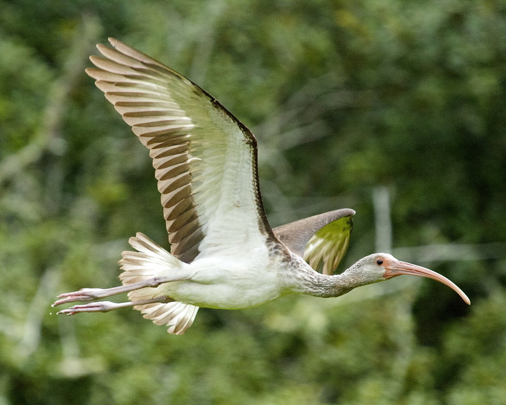 Juvenile White Ibis with brown coloration beginning to turn white