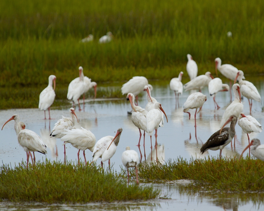 White Ibis cover the marsh as far as I can see.