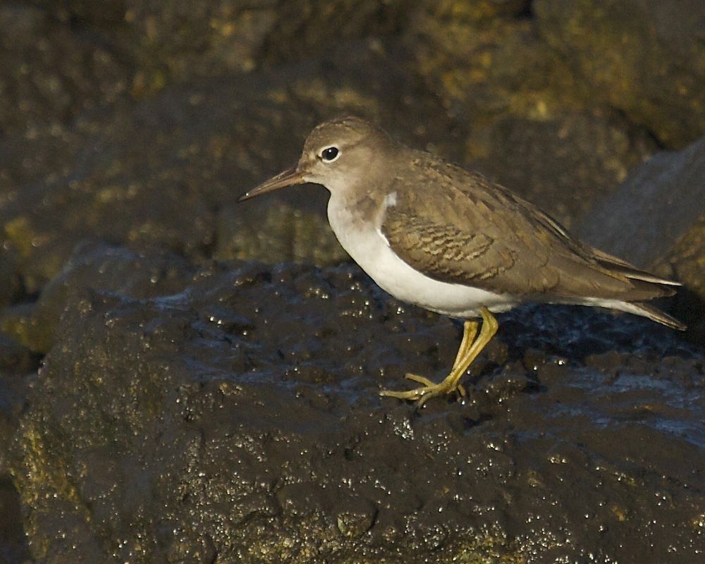 A spotted Sandpiper joins the morning hunt..