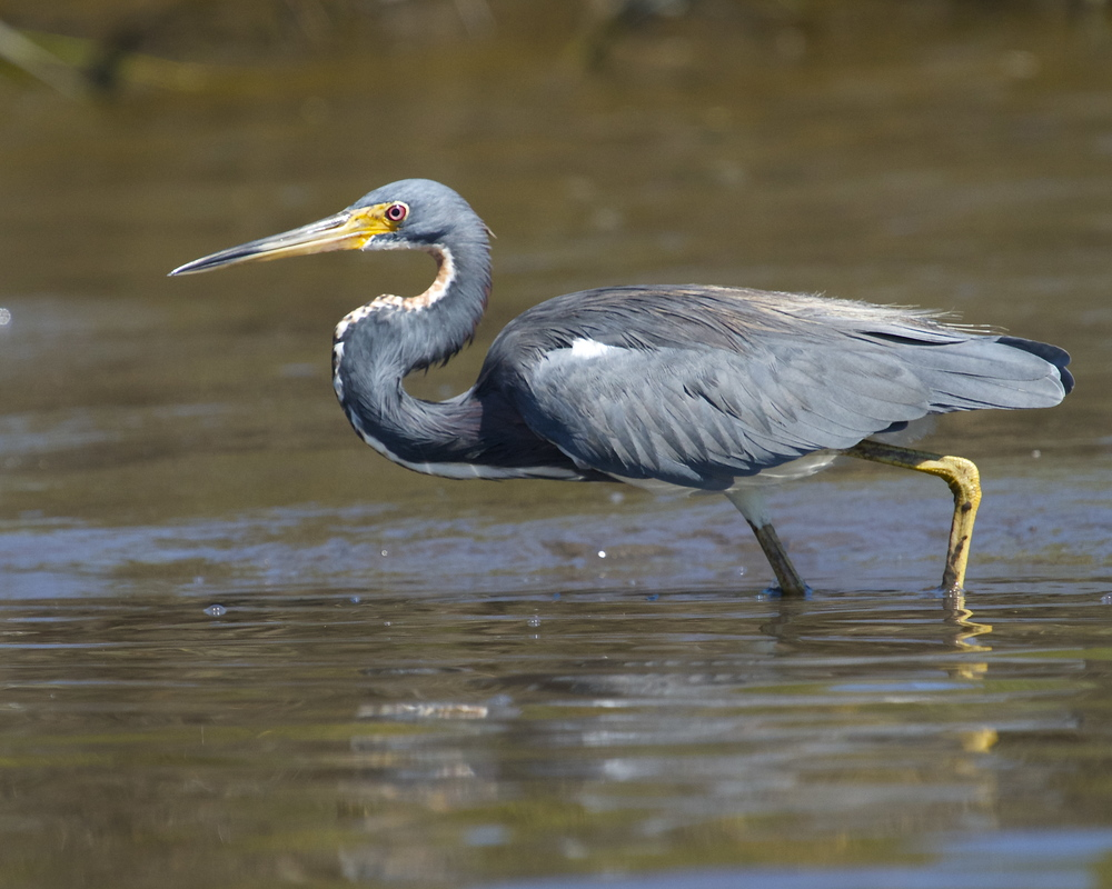That afternoon I spot the Tricolored Heron fishing again at low tide..