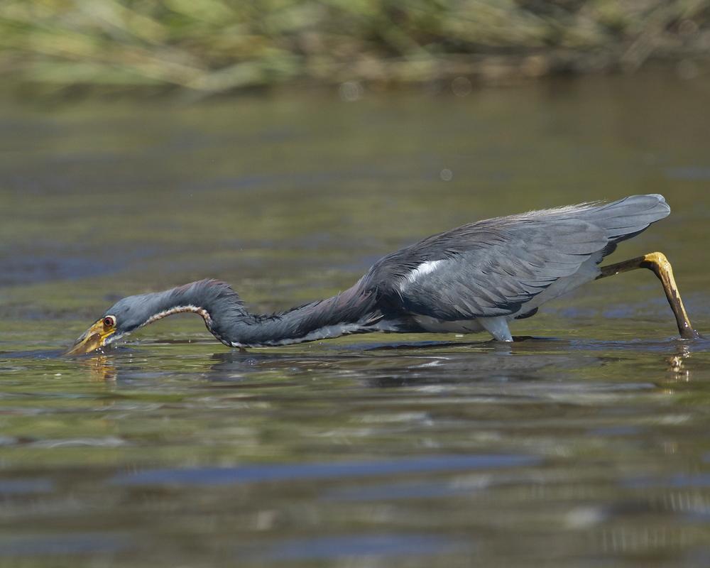 The heron strikes like a swift arrow..
