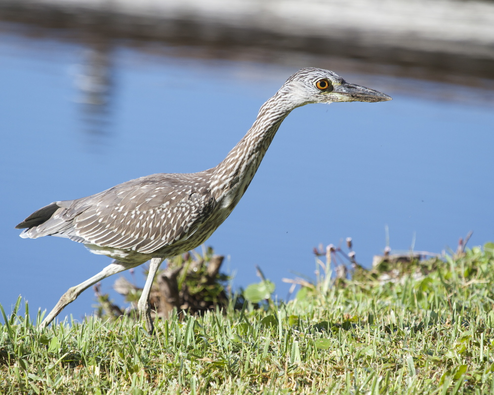 George Jr, the Yellow Crowned Night Heron spots a crab..