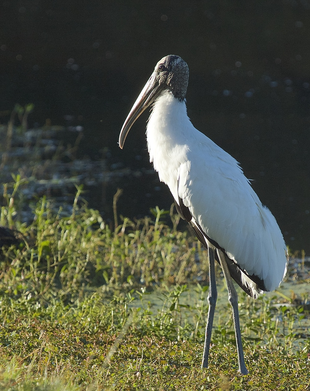 "Boutin Lake  is home to this ""handsome"" Wood Stork and many marsh species of birds, that all like to visit Rhoda and get a free breakfast."