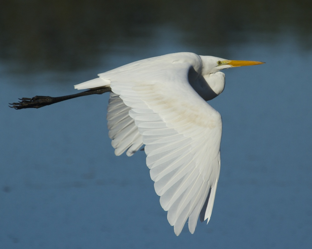 This Great Egret does a graceful fly by.