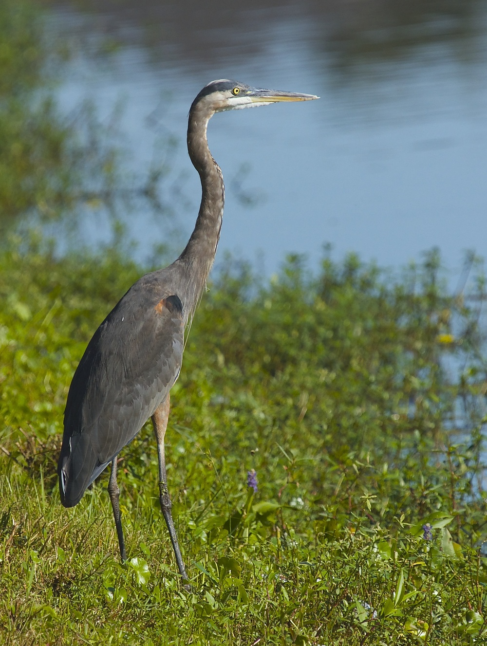 Hmm..Got fish? This tall Great Blue Heron surveys from the shore.
