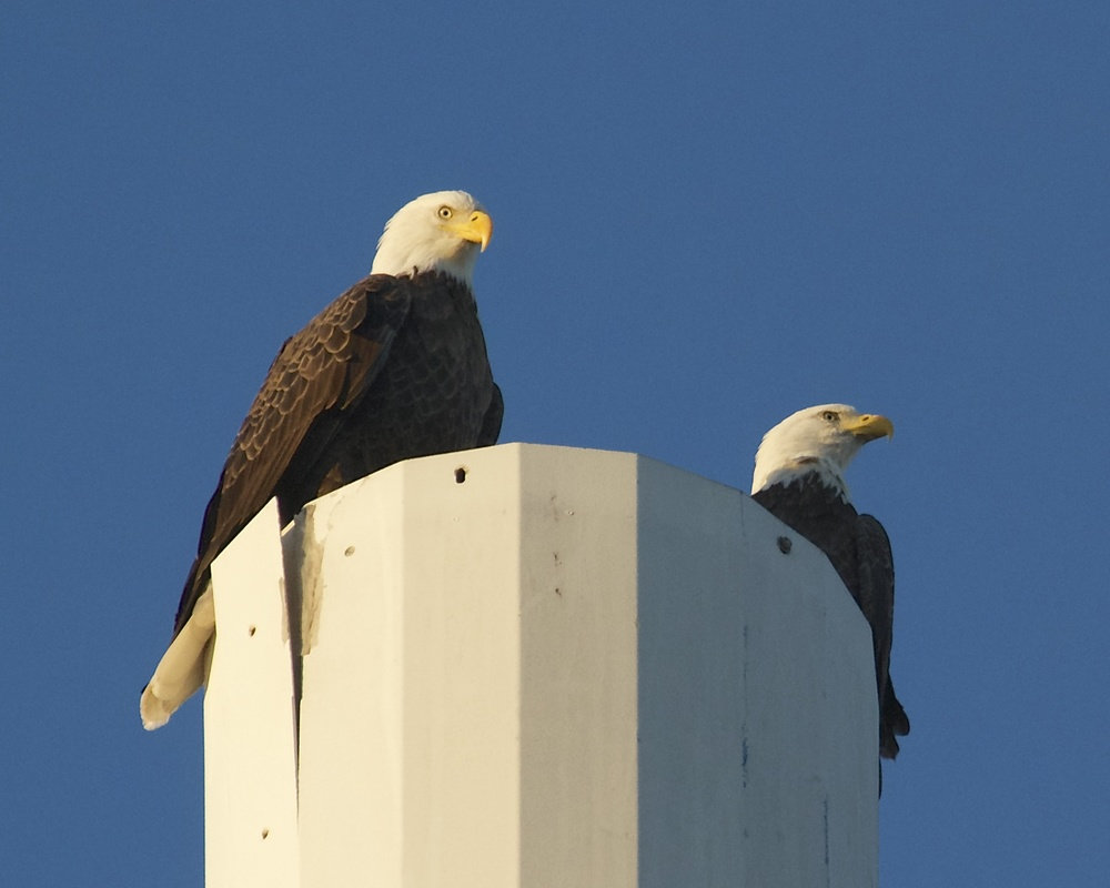 We humans are not the only ones using cell phones..This Bald Eagle landed, and called its mate from this Cell phone tower (toll free).