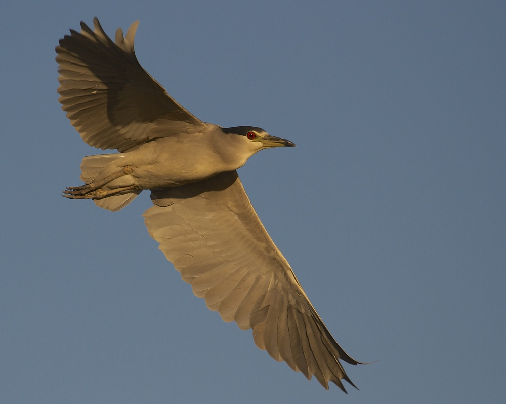You really should do something about those blues said the Black Crowned Night Heron..