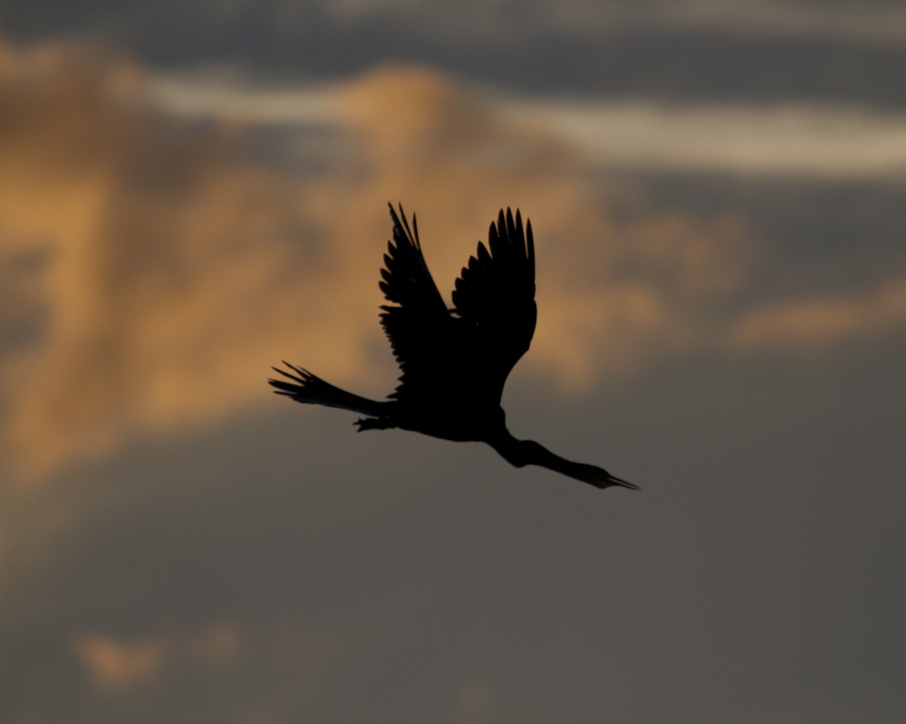 Annie the Anhinga is silhoutted as the sky begins to turn gold..