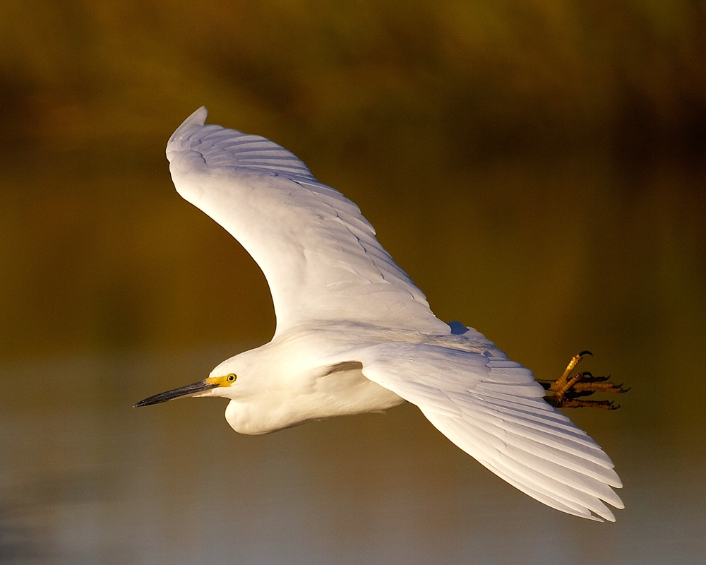 A Snowy Egret on an early morning flight illuminated in the golden light