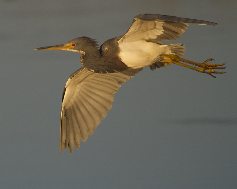 As the sun climbs higher the faint glow can still be seen on the Tricolored Heron as it glides by.