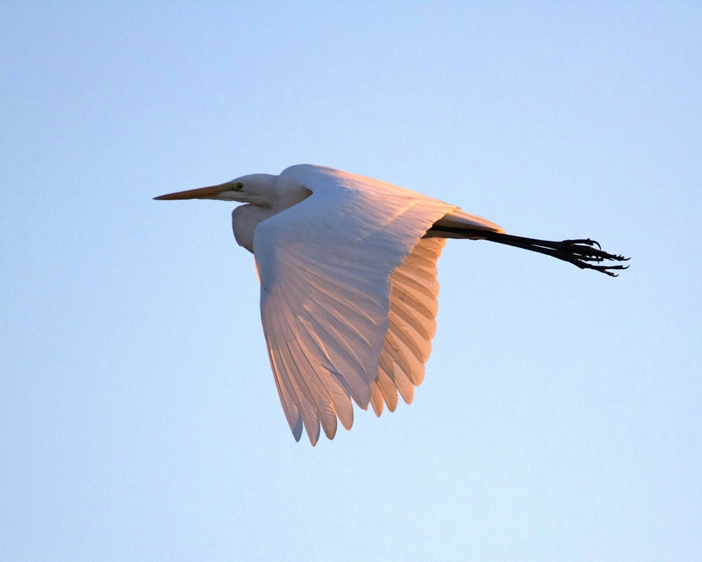 Golden and pink glow from setting sun illuminate the wings of a Great Egret heading for its nest.