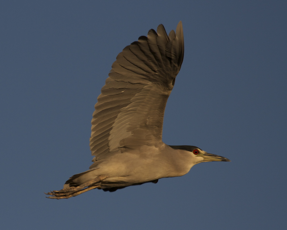 The Black Crowned Night Heron's golden glow under the wings as it begins it night stalking on the river at dusk.