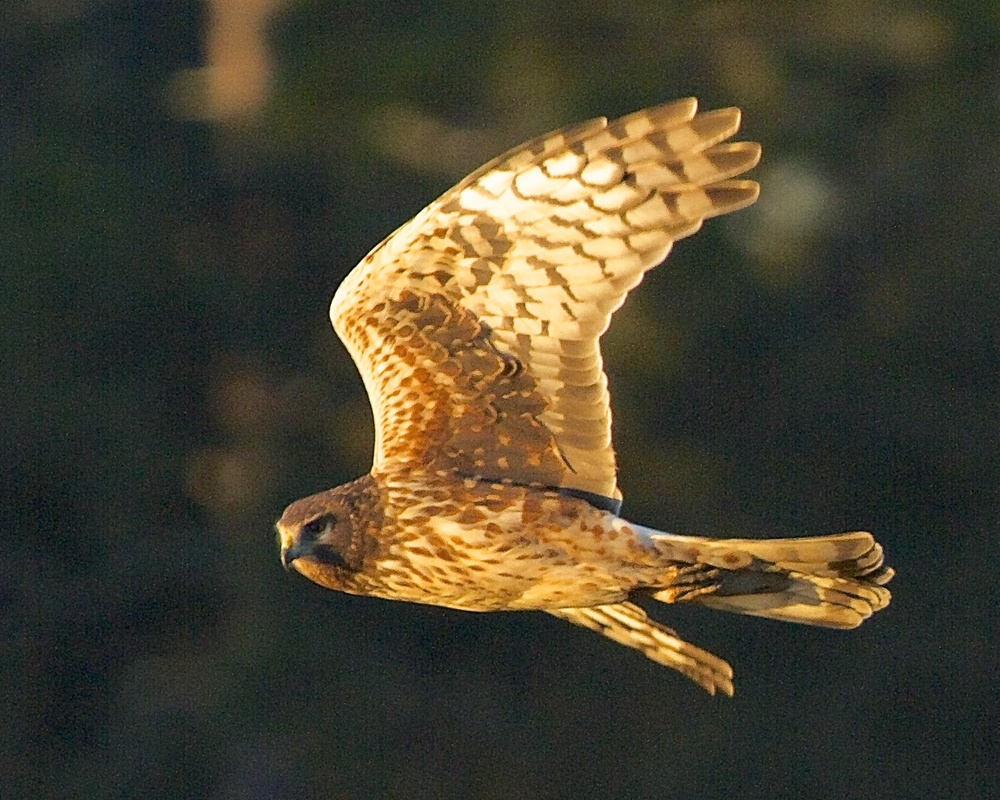 In January 2014 I captured a Northern Harrier in a similar maneuver early one morning in the Golden Hour. Perhaps the same bird?