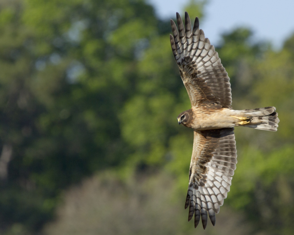 "Got Wings?  I capture this Northern Harrier in March 2013 in a classic ""Wing Over"" maneuver."