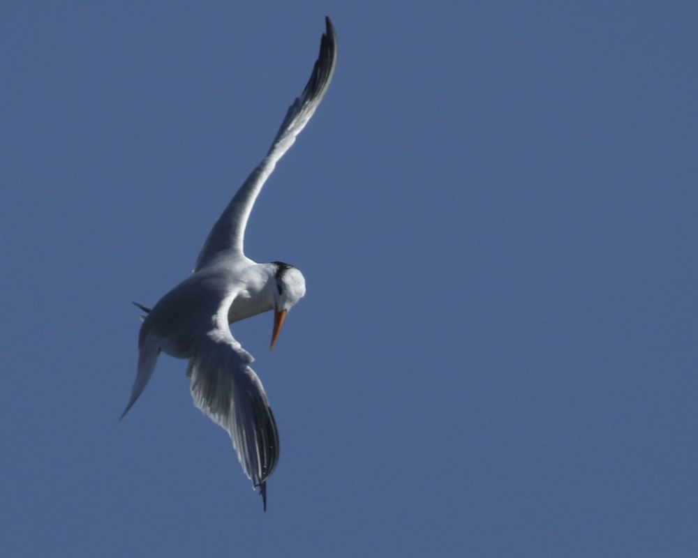 A Royal Tern spies a fish below and does a Royal Tern turn..