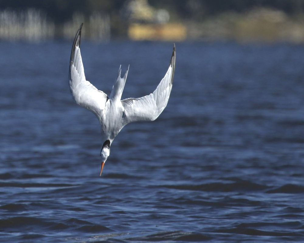 The tern goes into a fast dive..